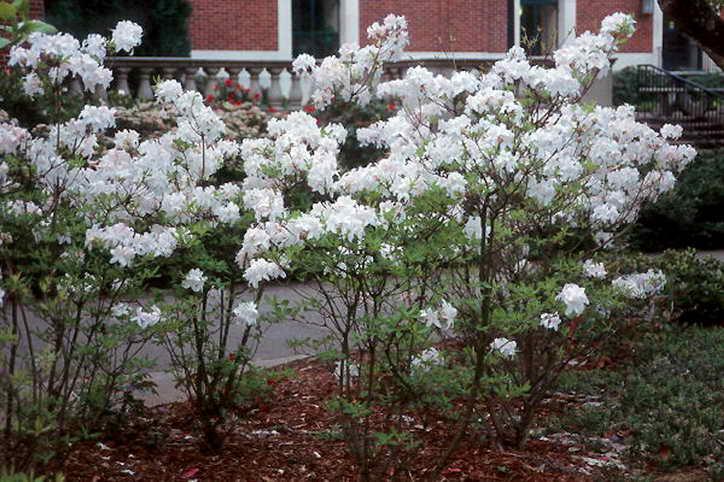 цветы азалия садовая